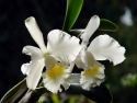 Orchidee: Cattleya canoluce Beth Shafler